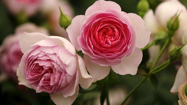 Mewarnai Mawar Putih jadi Rainbow Rose