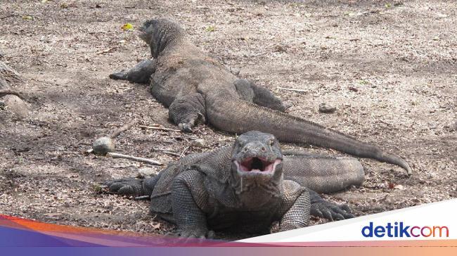 Ingat, Masuk Pulau Komodo Rp 14 Juta Masih Wacana