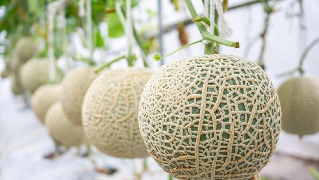13 Manfaat Melon untuk Ibu Hamil, Bunda Perlu Tahu