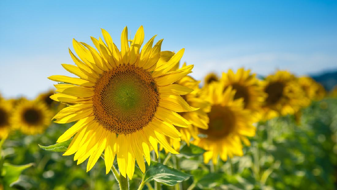 5 Langkah Menanam Bunga Matahari Untuk Pagar Hidup Di Rumah