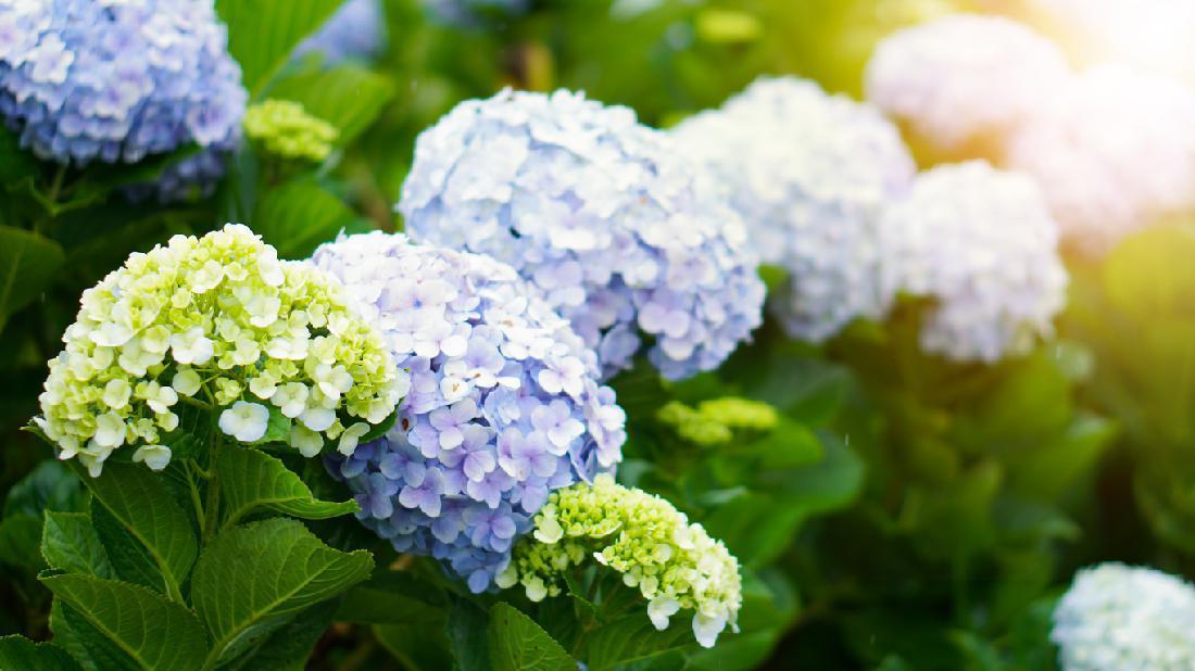 Hati Hati 7 Tanaman Hias Berbunga Cantik Ini Bisa Mematikan