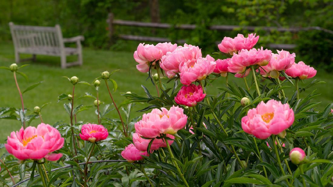 5 Tanaman Hias Dengan Bunga Besar Dan Cantik Dahlia Hingga Bunga Matahari