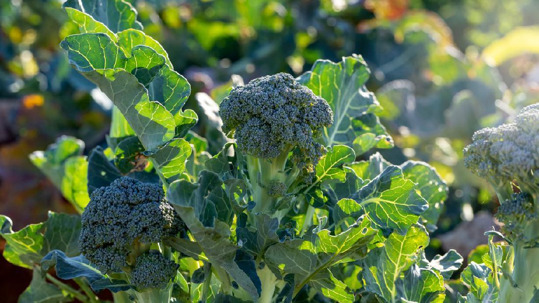 5 Tips Menanam Brokoli Hidroponik Agar Tumbuh Subur