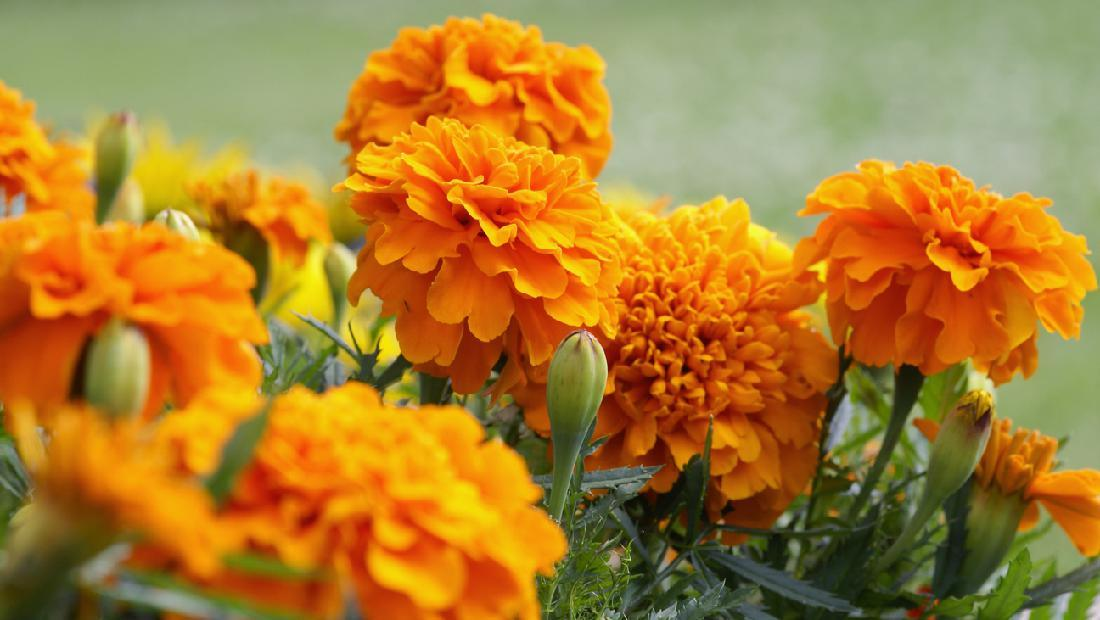 5 Tanaman Hias Bunga Yang Murah Dan Mudah Dirawat