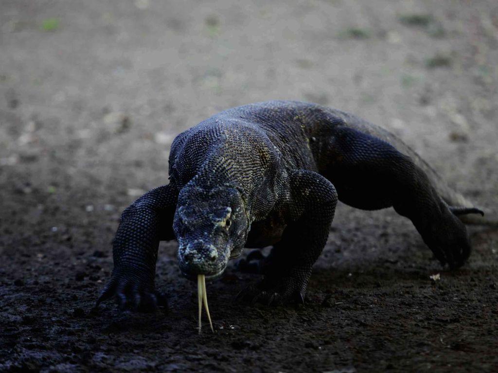 Viral Foto Komodo Berhadapan Truk di Taman Nasional, Ini Penjelasan KLHK