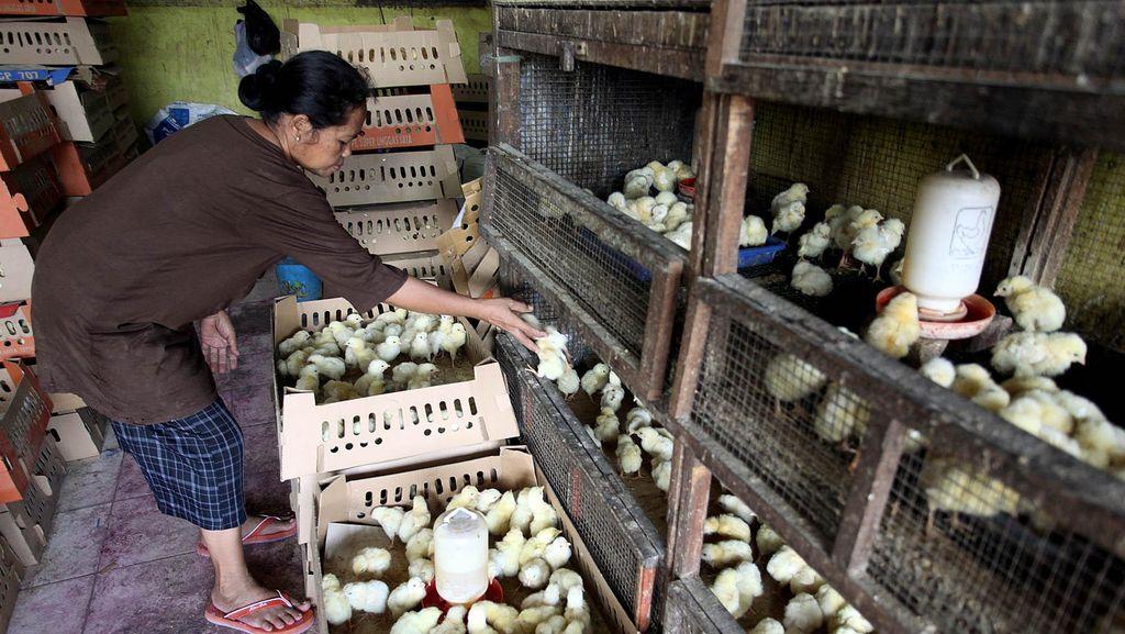 Divonis Kartel Ayam Oleh KPPU, Malindo Feedmill Bakal Ajukan Keberatan