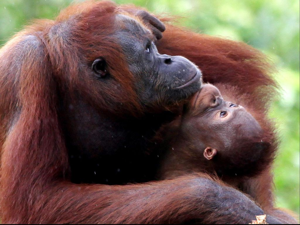 Samboja, Rumah Orangutan di Ibu Kota Baru Indonesia