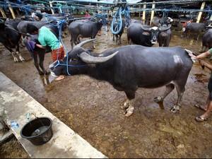 8.300 Ekor Sapi dan Kerbau di Banten Bakal Diberikan Inseminasi Buatan
