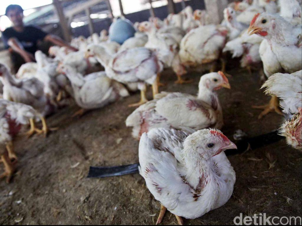 Pasokan Seret, Peternak: Masih Tunggu Ayamnya Diternak