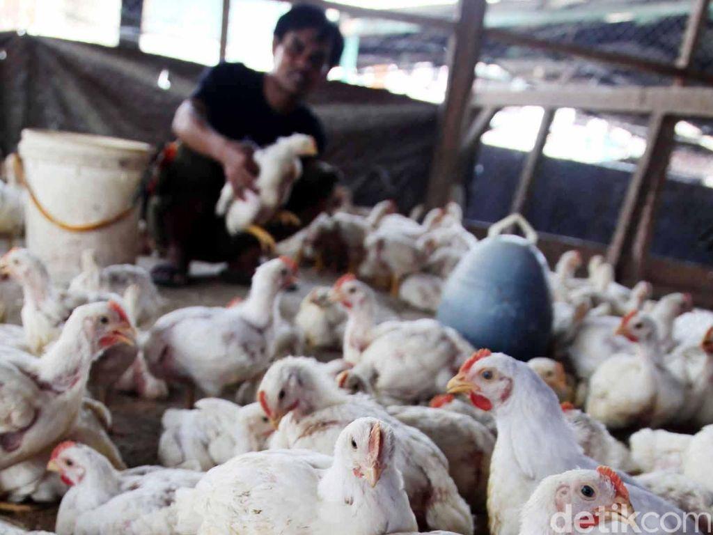 Harga Ayam Anjlok ke Rp 9.500/Kg, Peternak Gulung Tikar