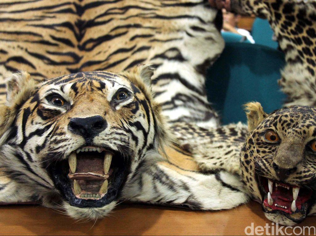 Aceh Punya Qanun Perburuan Satwa Dilindungi, Pemburu Bakal Dihukum Cambuk