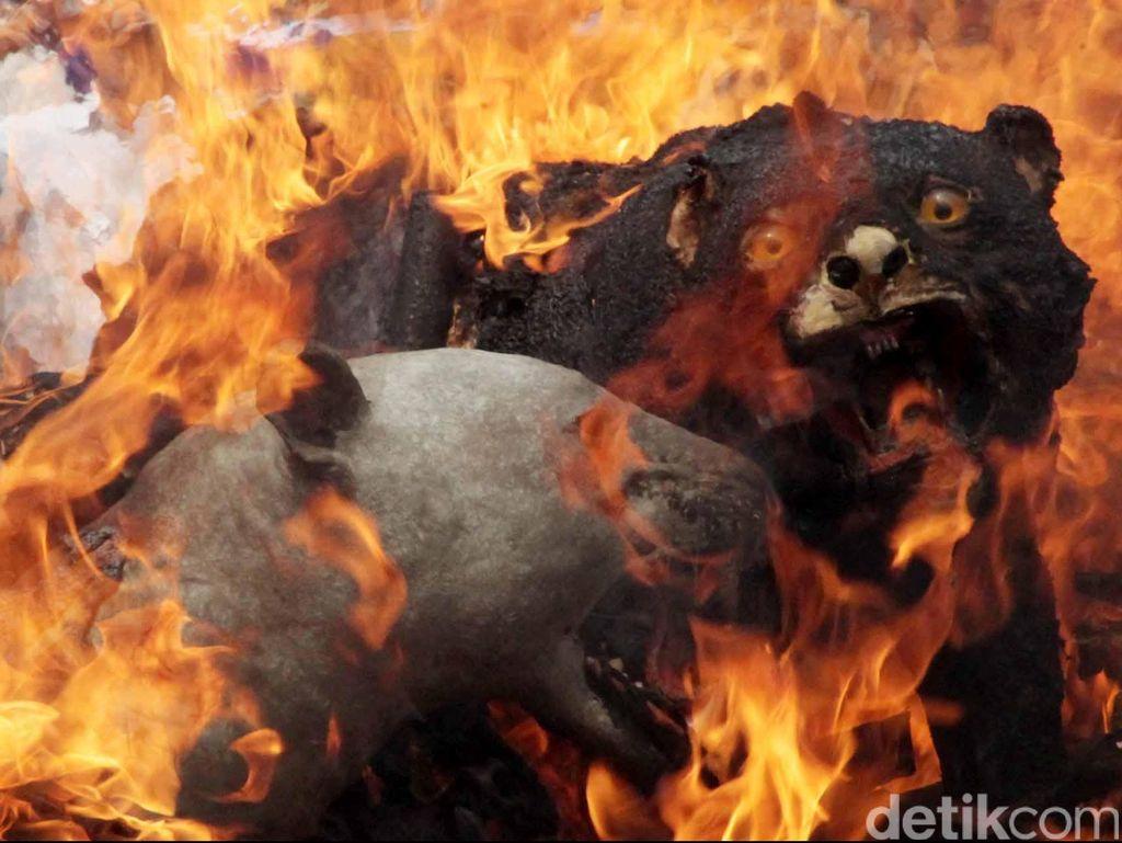 Kementerian LHK: Setelah Harimau, Kini Beruang Diburu