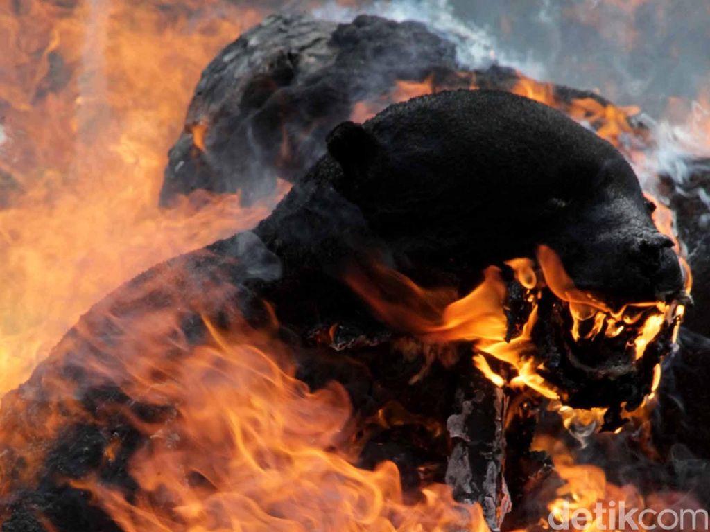 Hutan Jadi Perkebunan, Bonita dan Beruang Konflik dengan Manusia