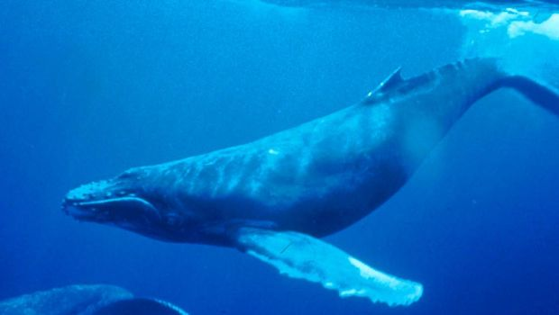 Paus bungkuk atau Megaptera novaeangliae. (Dok.Wikipedia)