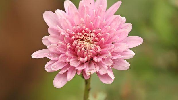 Bunga Krisantemum