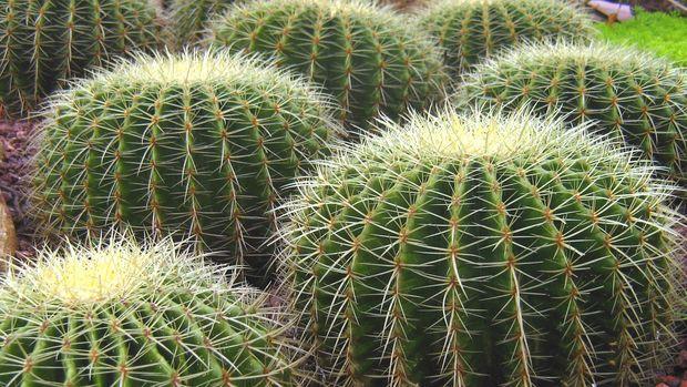 Ilustrasi Duri Kaktus