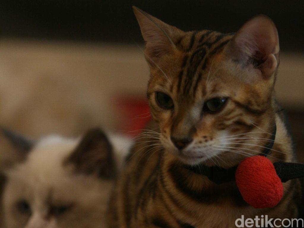 Hanya Punya 2 Kaki, Kucing Ini Mencuri Perhatian Netizen
