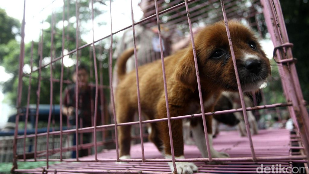 Dari Coolbox hingga Kurangnya SDM, Penghambat Kendali Rabies di Flores