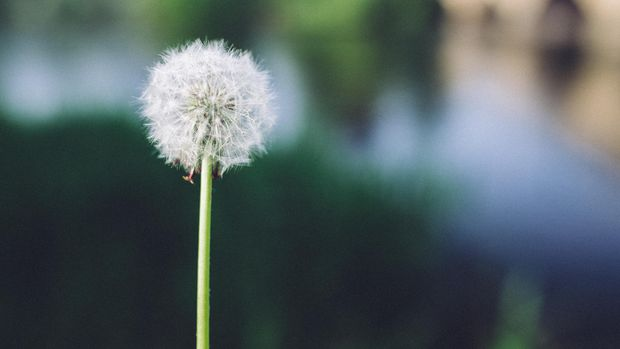 Ilustrasi Bunga Dandelion