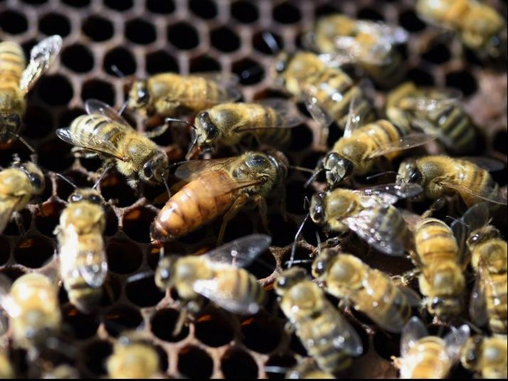 Korban Bencana Selat Sunda Diajari Ternak Lebah