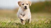 Ilmuwan Latih Anjing agar Bisa Deteksi Virus Corona di Tubuh Manusia