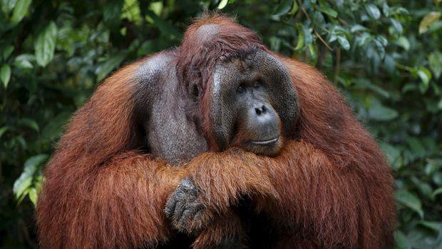 Lara Tersisa dari Matinya 'Puan', Orangutan Tertua Sedunia