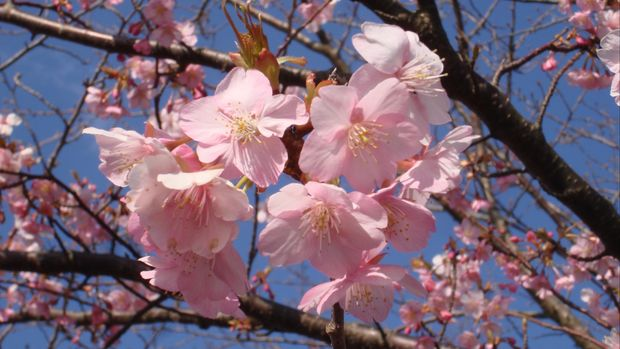 ilustrasi Bunga Sakura