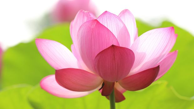 Ilustrasi bunga lotus