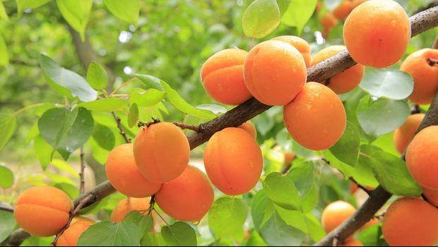 Ilustrasi pohon buah persik