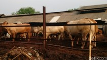 Bareskrim: Perpres 71/2015 Lemahkan Pengusutan Kasus Penimbunan Sapi