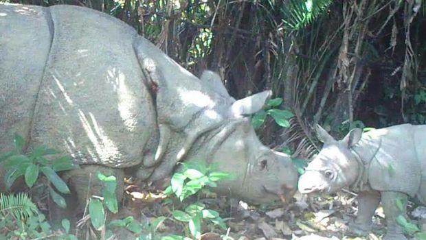 Badak jawa di Ujung Kulon punya tiga anak baru. (Dok. Tim Monitoring Badak Jawa Taman Nasional Ujung Kulon)