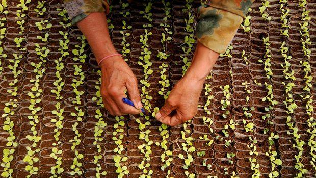 selada juga mudah ditanam