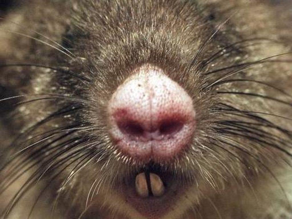 Bandikut, Tikus Babi Musuh Petani di Papua