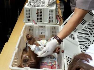 WWF Riau Duga Penyelundup Bunuh Induk 3 Bayi Orangutan
