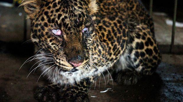 Seekor macan tutul (Panthera pardaus melas) yang diserahkan dari warga terkurung di dalam kandang besi di Kantor Resort Konservasi wilayah XIX Gunung Sawal, Komplek BP3K, Imbanagara, Ciamis, Jawa Barat, Senin (9/11). Hewan langka yang dilindungi tersebut ditemukan warga tergeletak dengan kondisi mata kanan buta dan sedikit luka di kepala di Dusun Kersamenak, Desa Pamokolan, Kecamatan Cihaurbeuti dan kemudian diserahkan ke Balai Konservasi Sumber Daya Alam (BKSDA) wilayah III Ciamis. ANTARA FOTO/Adeng Bustomi/aww/15.