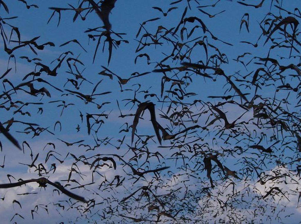 Kisah Mencekam Para Pemburu Virus Berbahaya di Kelelawar