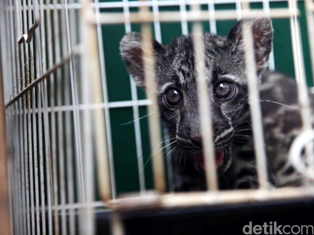 Misteri Macan Dahan Yang Mati Dikuliti