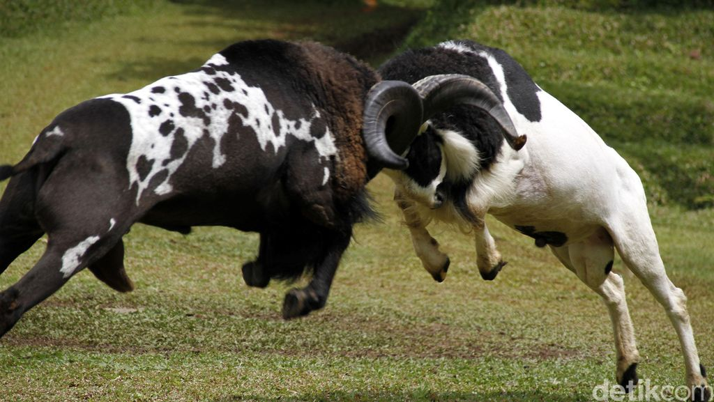 Liburan ke Garut, Jangan Lewatkan Atraksi Adu Domba
