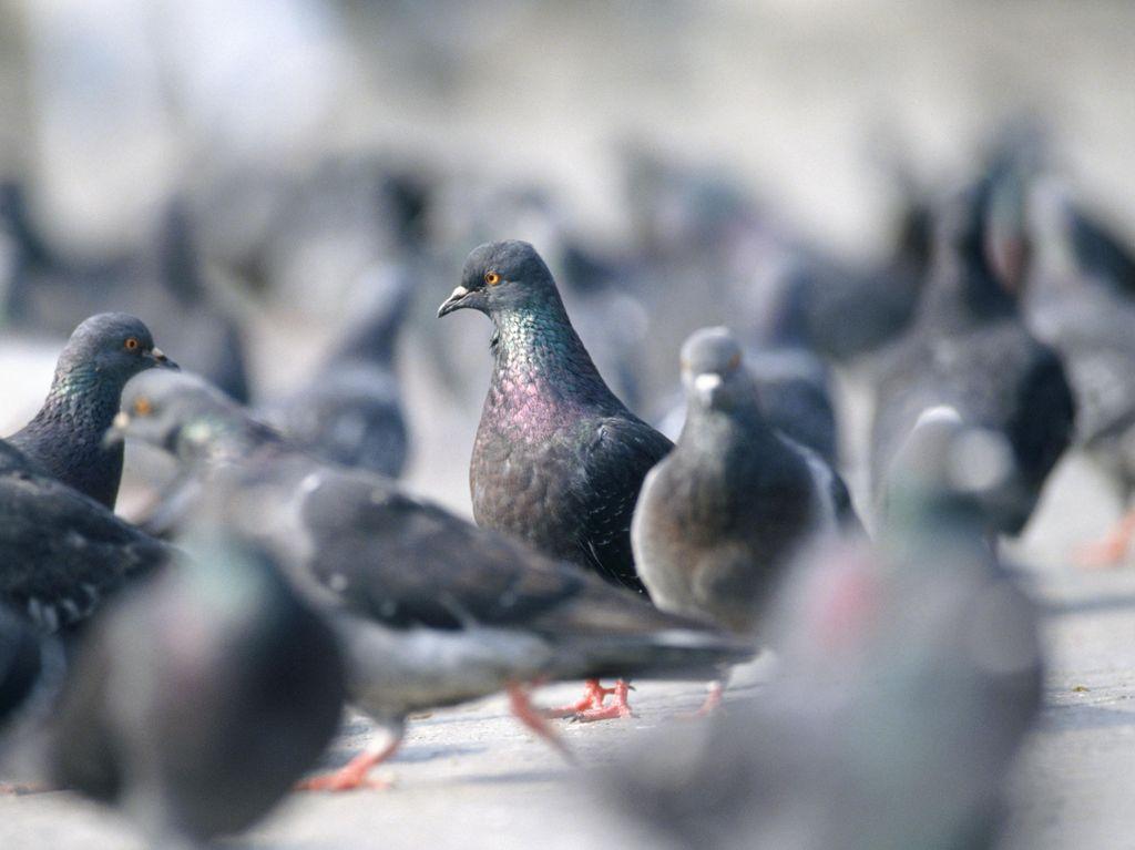 Bocah Inggris Meninggal Gara-gara Kotoran Burung Merpati