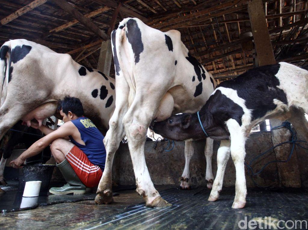 Konsumsi Susu RI Lebih Rendah Dibanding 4 Negara ASEAN Ini