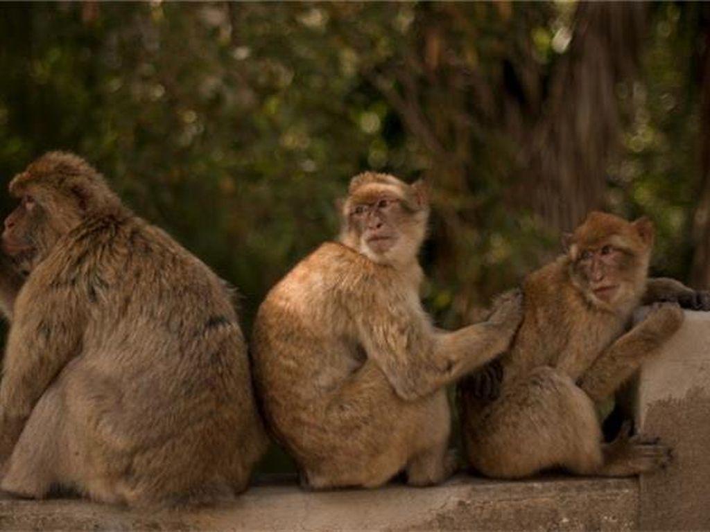 Orang-orang Dikarantina, Monyet-monyet Asyik Berenang