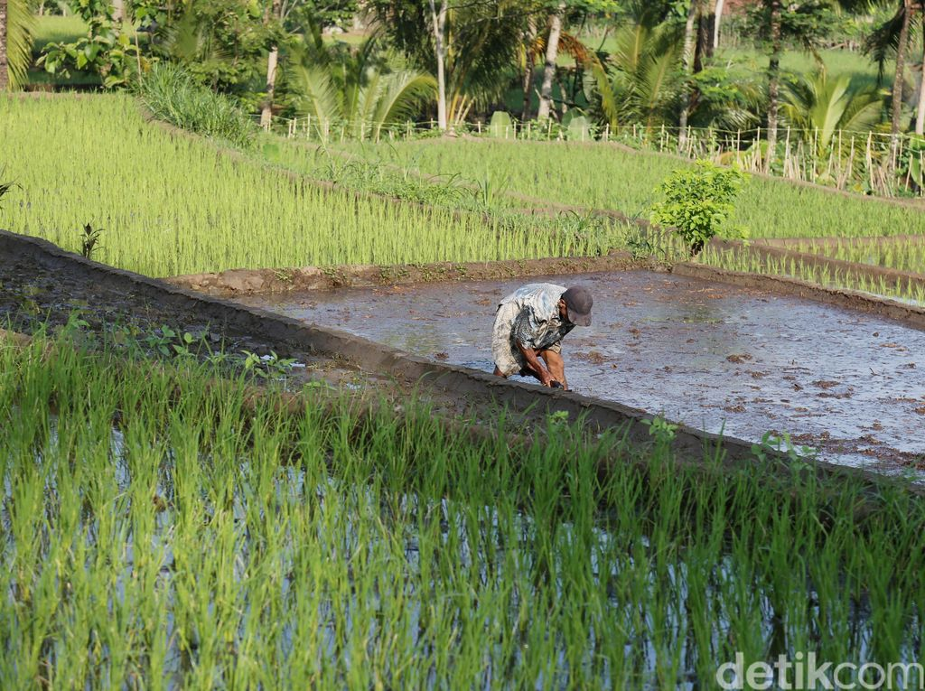 Mulai 2018, Petani di Jawa Beli Pupuk Subsidi Pakai Kartu
