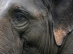 1 Ekor Gajah Jantan Ditemukan Mati di Aceh, Gading Hilang