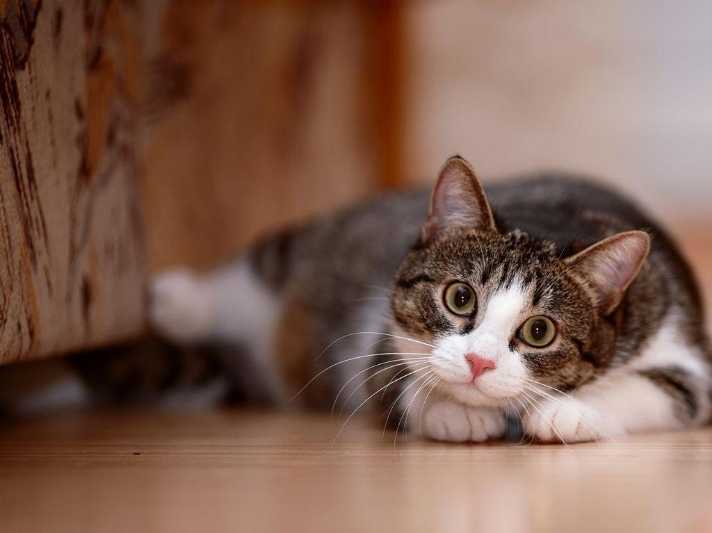 Toksoplasma pada Kucing Tingkatkan Risiko Keguguran?