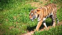 Penjaga Kebun Binatang Tewas Diterkam Harimau