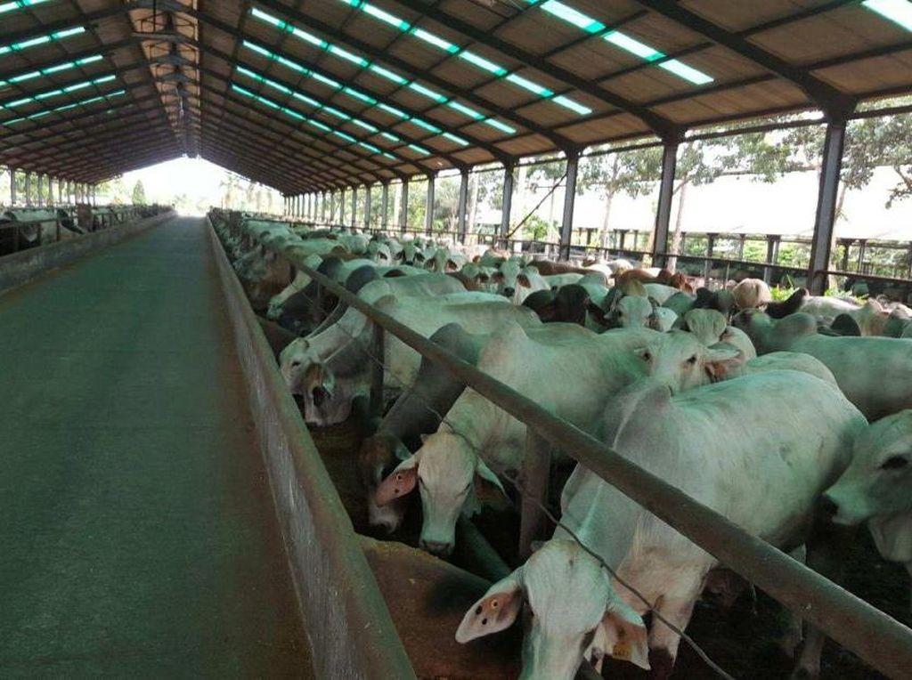 Mendag Jamin Impor Sapi dari India Tidak Akan Langgar Aturan