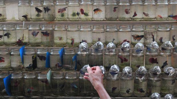 Penjual merapikan dagangan ikan cupang di kawasan Pasar Burung Palembang, Sumatera Selatan, Senin (1/2). Penjual mengakui tiap memasuki musim hujan permintaan ikan cupang meningkat hingga 200 persen untuk membasmi jentik nyamuk penyebab demam berdarah dengeu (DBD). ANTARA FOTO/Feny Selly/foc/16.
