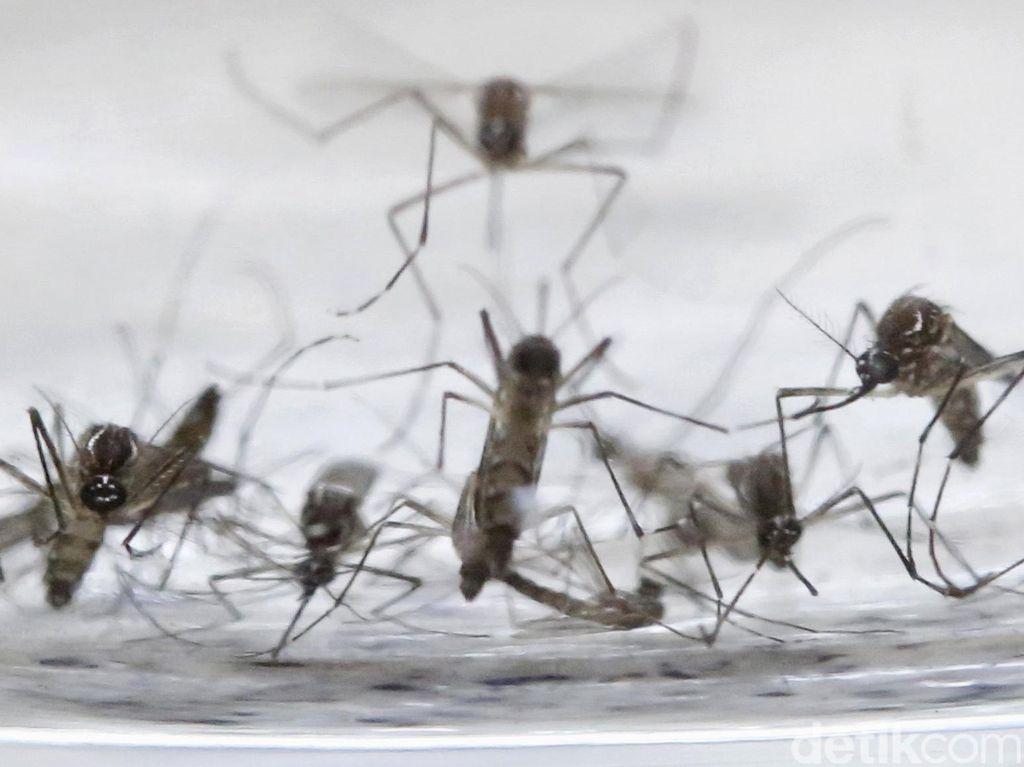 Masih Ingat? Selain Vaksin, Juga Ada Nyamuk Wolbachia untuk Kendalikan DBD