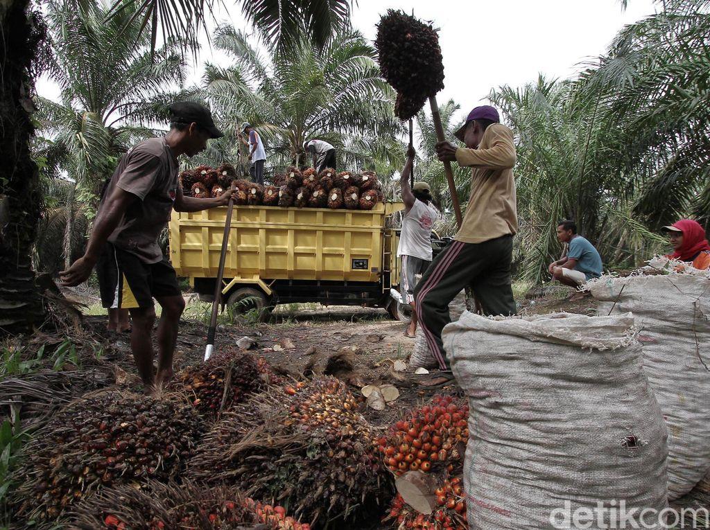 Jokowi Guyur Rp 753 M untuk Peremajaan Sawit