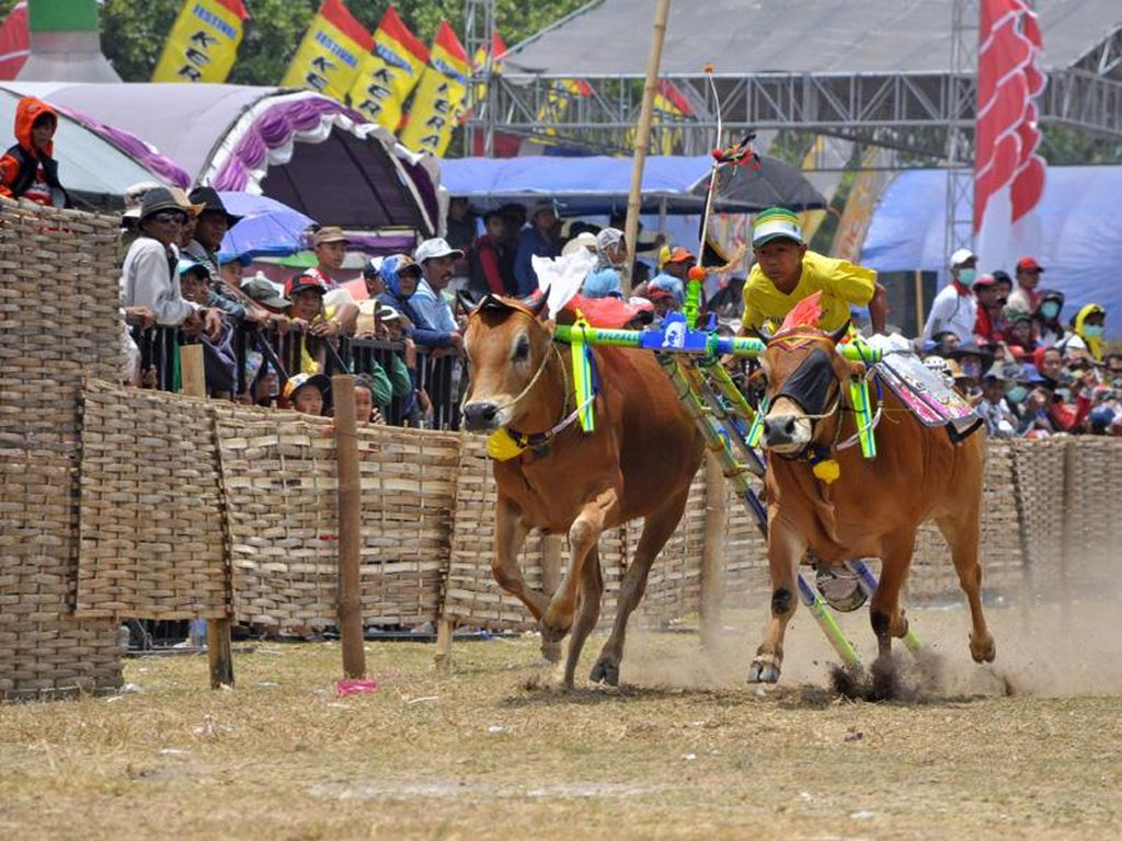 Karapan Sapi & Pacu Jawi, Festival Balap Sapi Paling Fenomenal